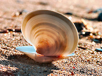 2 halves of a clamshell on Kitty Hawk beach.