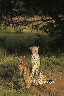 Cheetah .Phinda Private Game Reserve.South Africa