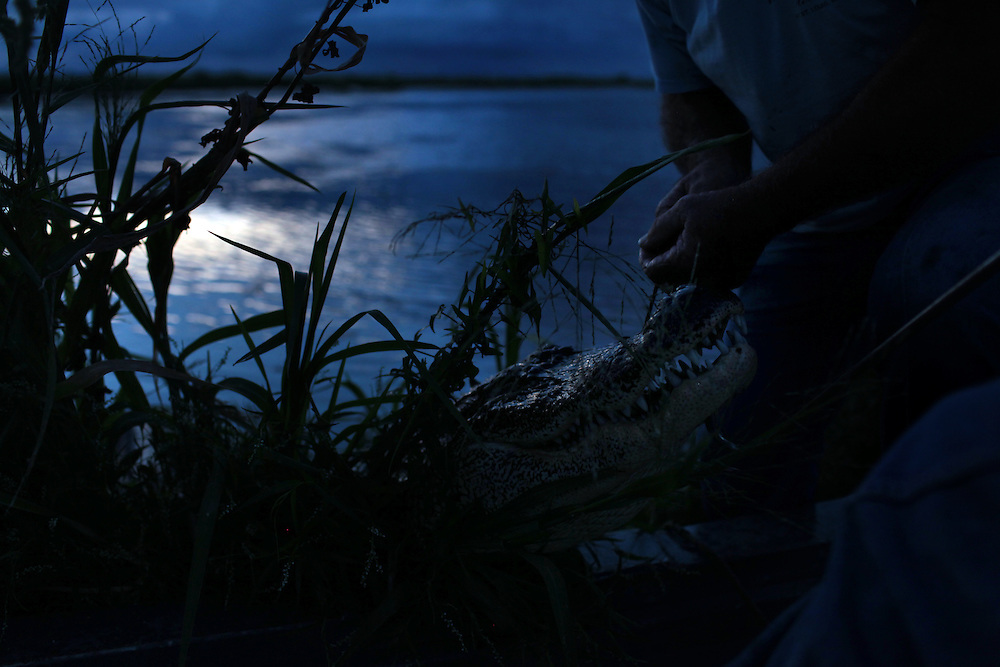 Paul Serigne gator hunting on the bayou outside Delacroix Island , LA August 27th, 2010.