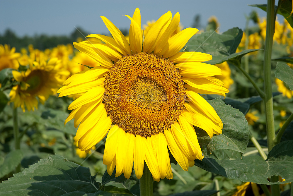 """The sunflower is an annual plant native to the Americas in the family Asteraceae, with a large flowering head. The stem of the flower can grow as high as 3 metres tall, with the flower head reaching up to 30 cm in diameter with the """"large"""" seeds."""