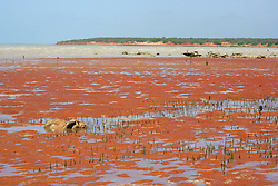 Mangrove shoots emerge from the pindan when the tide is out at Crab Creek, on the shores of Roebuck Bay, south of Broome.
