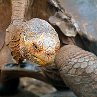 South America, Ecuador, Gsalapagos Islands, Santa Cruz Island. Galapagos Tortoise of Santa Cruz Island.