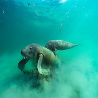 Female West Indian manatee feeds on sea grass and stirring up clouds of mud and silt in the process. Her calf hangs on to her back for a ride in the Swallow Caye region of coastal Belize.  <br />