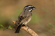 Black-throated Sparrow (Amphispiza bilineata)<br /> TEXAS: Hidalgo Co.<br /> Las Colmenas Ranch<br /> 14-March-2006<br /> J.C. Abbott #2248
