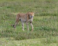 Cheetah (Acinonyx jubatus) walking in the Ngorongoro Crater, Tanzania, Africa