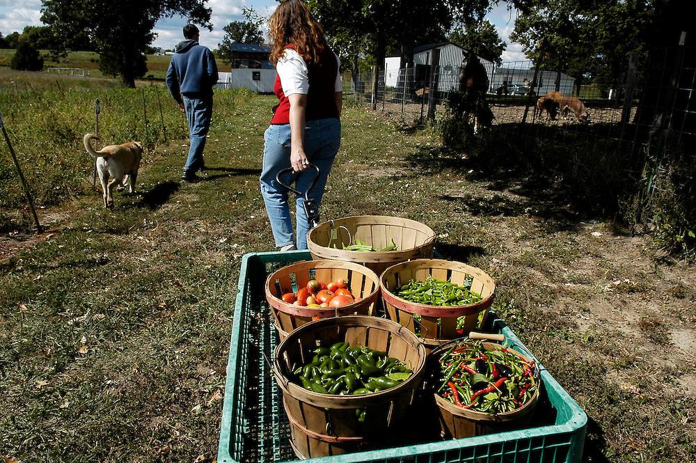 DANJO FARMS, exploitation familiale de 15 hectares. Joanne et Derek Nelson ramassent les dernieres tomates et piments de la saison avant la première gelée prévue pour la nuit suivante. Les Nelson font pousser trente cinq variétés de tomates.