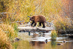 """Black Bear at Taylor Creek 1"" - This brown colored black bear was photographed with a Kokanee Salmon in it's mouth at Taylor Creek in South Lake Tahoe."