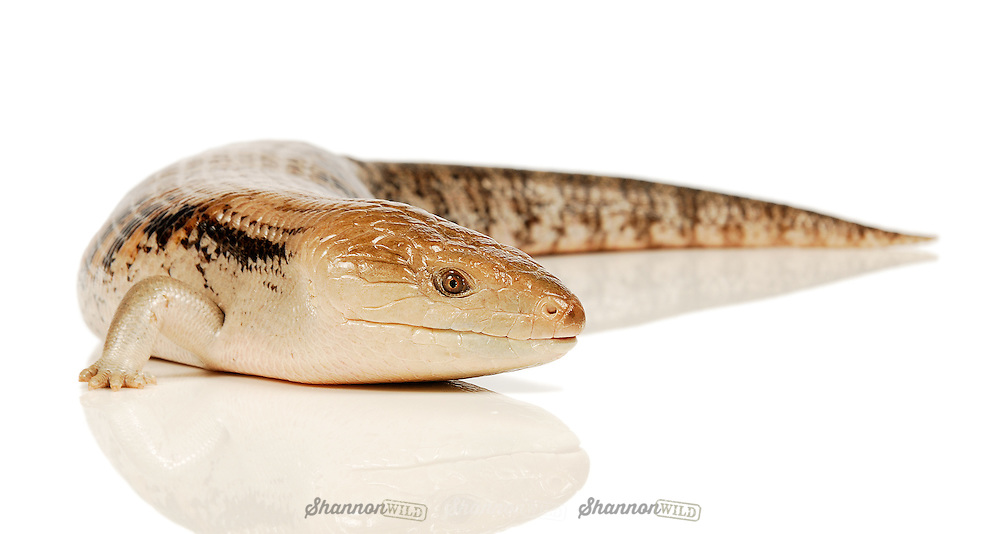 Kimberley or Northern Blue Tongue Lizard (Tiliqua scincoides intermedia). Male, Darwin locale..These are the largest and heaviest of the Blue-tongued Lizards (Scincidae Tiliqua). Native to Australia and found almost exclusively in the Northern Region.