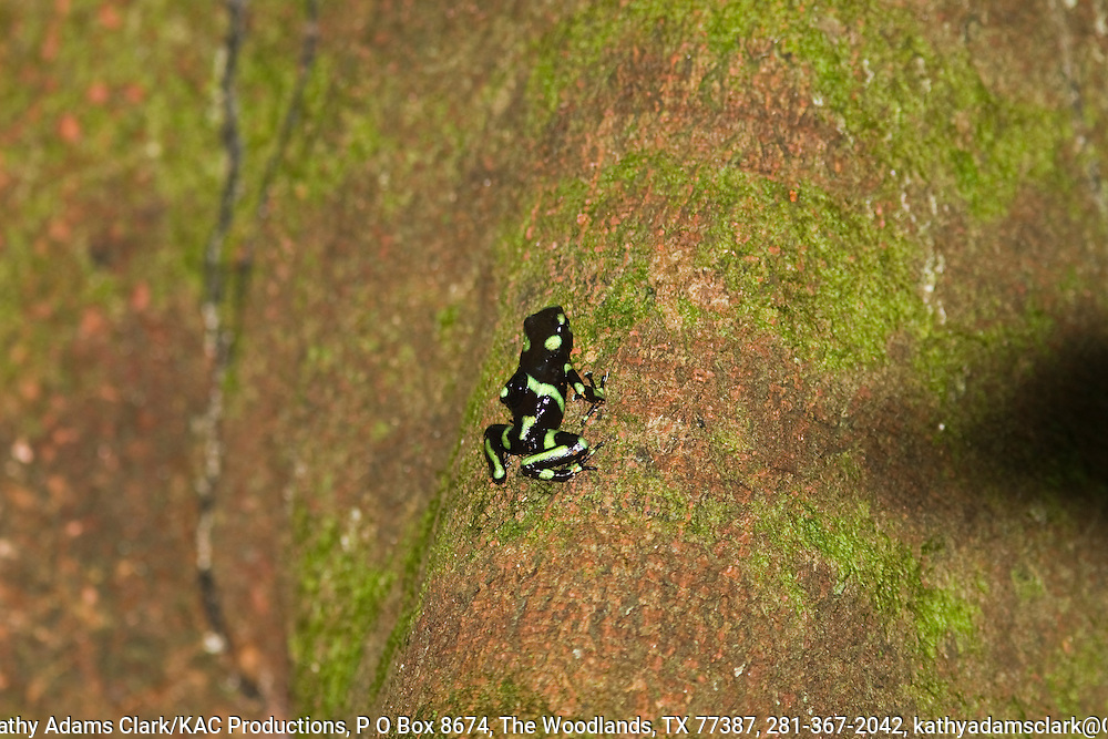 Green and black poison dart frog, dendrobates auratus, rana venenosa in spanish, skin contains a mild venom called pumiliotoxin-c, Osa Peninsula, southern costa rica.Males tends to eggs and tadpoles. tadpoles are moved to bromeliads, water-filled tree cavities by the male.  see tadpole on the back of this adult.