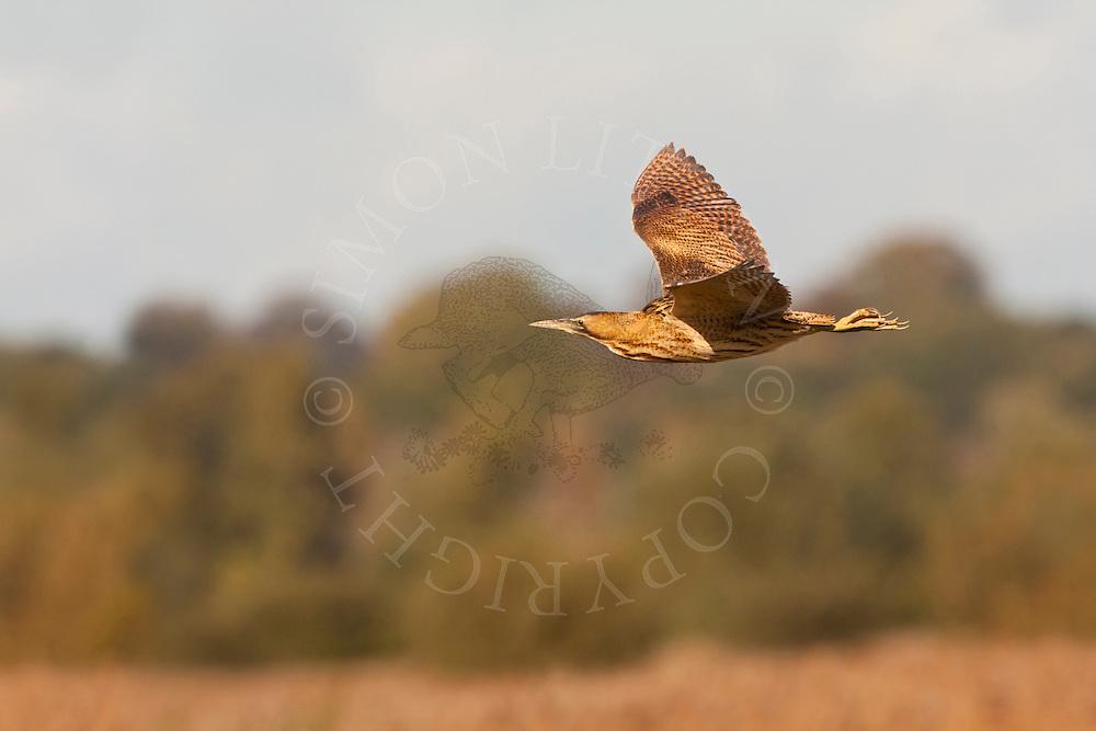 Great Bittern (Botaurus stellaris) adult, in flight over reedbed, Norfolk, UK.