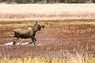 Young bull moose (Alces alces) runs through the marsh of Beluga Lake in Homer in Southcentral Alaska. Spring. Afternoon.