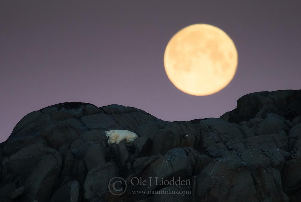 Full moon above stranded Polar bear (Ursus maritimus)  on an island north of Nordaustlandet, Svalbard