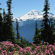 On the Excelsior Pass trail in Mount Baker-Snoqualmie National Forest, Mount Baker can be seen rising to 10,781 feet elevation across the valley. North Cascades mountain range, Washington, USA. Heather flowers bloom in the foreground.