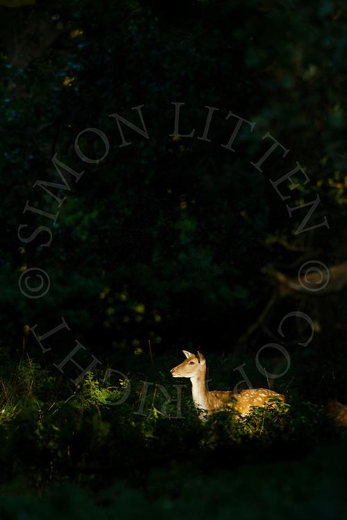 Fallow Deer (Dama dama) Adult femalestanding in shaft of light in woodland,North Norfolk, UK. September.