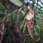 Pitcher plant (Nepenthes rafflesiana giant form), Kubah National Park, Sarawak, Borneo, Malaysia.