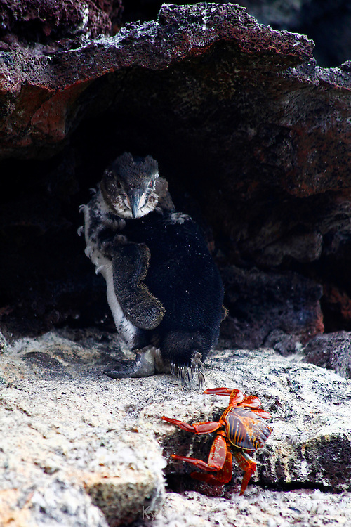 South America, Ecuador, Galapagos Islands. Galapagos Penguin and sally Lightfoot Crab on San Cristobal island.