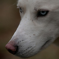 Close up of our all white Siberian Husky Mojo as he surveys the yard during a play session in the muddy yard on an unseasonably warm day in December.