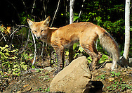 A Fox sunning in Northern Minnesota near the Boundary Waters Canoe Area Wilderness