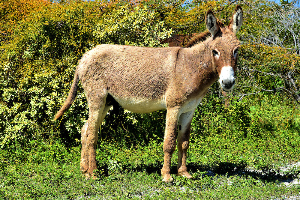 Wild Donkey in Grand Turk, Turks and Caicos Islands<br /> Starting in the 1700s, Bermudians arrived on the island seasonally to rake salt from the salterns. They used donkeys to pull loaded carts from the evaporation ponds to the piers where the salt was loaded onto ships. During the offseason, the donkeys were free to roam. This created a huge population of wild donkeys.  Unfortunately for tourists, many of the feral donkeys may be gone by the time you arrive. Grand Turk&rsquo;s local government is rounding them up before their ride to the Dominican Republic to work on farms. Progress is also being made to establish a permanent donkey sanctuary to care for the remaining animals.