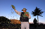 Helped by his brothers, Abel Alarcon, coca grower from Huancané, a small village spread the coca leaves just collected, before the sun come and dry the leaves job, work, agricolture