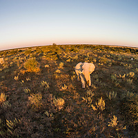 Africa, Botswana, Nxai Pan National Park, Aerial view of Bull Elephant (Loxodonta africana) in Kalahari Desert at sunset