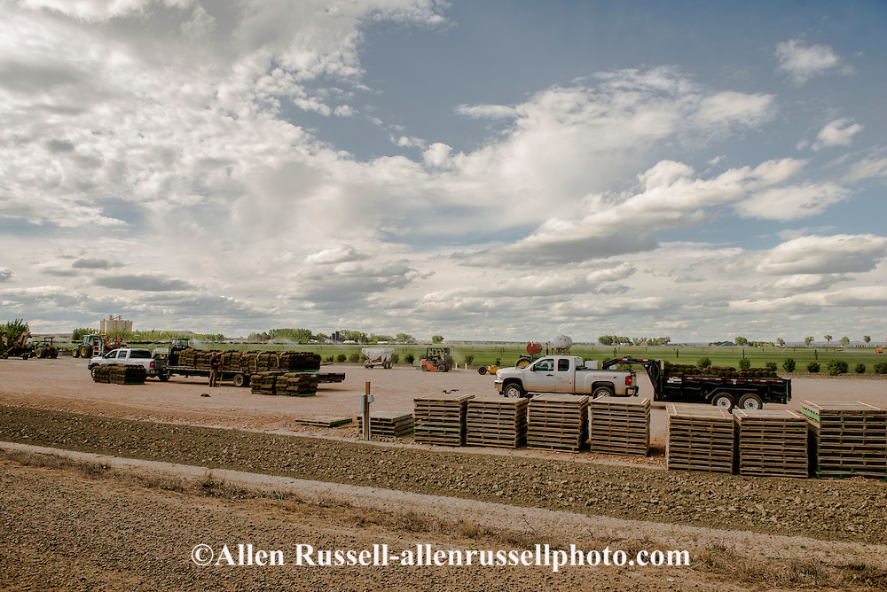 Green Acres Sod Farm, Fairview Montana, agricultural business remain viable dispite Bakken Oil Field bust