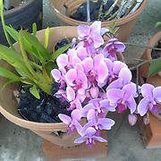 Africasiaeuro.com - Orchids