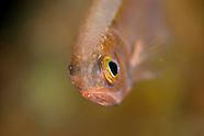 Optivus elongatus (Slender roughy)