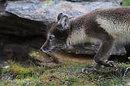 Arctic fox (Vulpes lagopus), summer coat, Kongsfjorden, Svalbard.