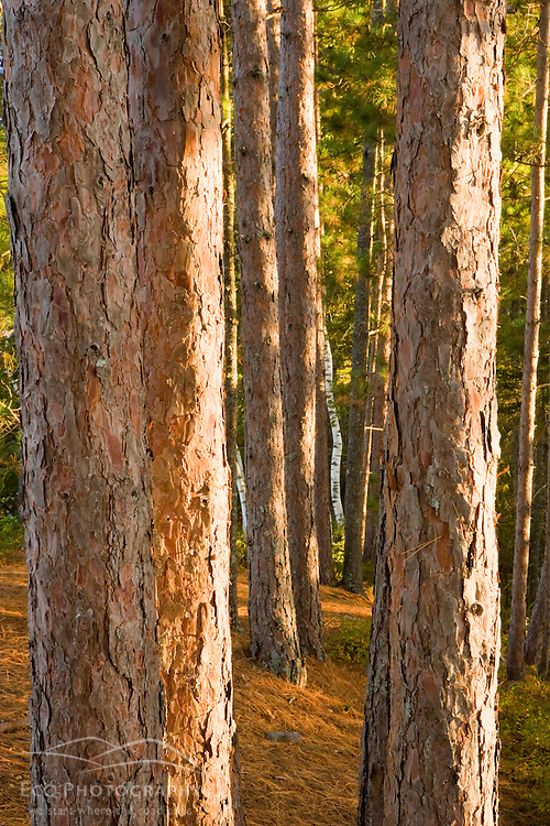 Red Pine trees on Hammer Island of Seboeis Lake near Millincocket, Maine.