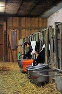 07/05/15 - SAINT BONNET DE CHIRAC - LOZERE - FRANCE - GAEC des Bleuets, elevage mixte bovin/ovin lait. Genisses et veaux dans la nurserie - Photo Jerome CHABANNE