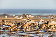 Sandhill Cranes (Grus canadensis) and Greater White-Fronted Geese (Anser albifrons) foraging on the Susitna Flats State Game Refuge near Beluga in Southcentral Alaska during the spring migration. Evening.