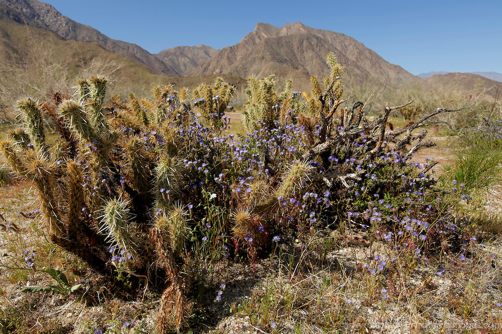 USA, California, San Diego County. Anza-Borrego Desert State Park landscape with Cholla Cactus.