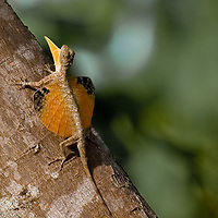 Flying lizard, Draco sp., in Central Sulawesi