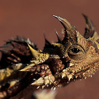 Australia, Western Australia, Thorny Devil (Moloch horidus) in red desert sand near small town of Billabong