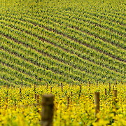 SHOT 5/27/13 1:57:45 PM - The rolling vineyards of Sokol Blosser Winery in Dayton, Oregon. Sokol Blosser produces Pinot Noir, Pinot Gris, and blends in the Dundee Hills of the Willamette Valley. Produces Pinot Noir, Pinot Gris, and blends in the Dundee Hills of the Willamette Valley. As one of the pioneering wineries of Oregon, Sokol Blosser Winery has played a key role in developing and shaping the now prominent Oregon wine industry. Oregon is a state in the Pacific Northwest region of the United States. Oregon is the 9th most expansive and the 27th most populous of the 50 United States. (Photo by Marc Piscotty / © 2013)
