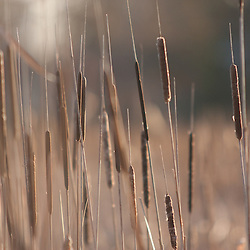 Cat Tails near the shoreline of Lake Nokomis in the fall