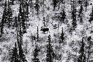 Moose in snowy Boreal Forest , Churchill , Canada   &amp;#xA;winter , tundra , arctic , ice ,  mammal , snow  aerial , tree , Hudson Bay @ Kike Calvo - V&amp;W<br />