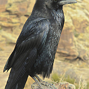 Raven sitting on fence post with rocks in background  near Holbrook, AZ looking for next meal.