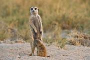 Meerkat or Suricate (Suricata suricatta) Mother and Baby<br /> Makgadikgadi Pans, Kalahari Desert<br /> Northeast BOTSWANA<br /> HABITAT &amp; RANGE: Kalahari Desert in Botswana, Namib Desert of Namibia, Angola and South Africa