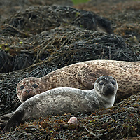 Mother and pup common seal (aka harbour or harbor seal) Phoce vitulin, Isle of Skye, Scotland.