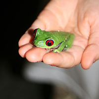 Central America, Costa Rica, Osa. A Red-Eyed Tree Frog sits in a child's hand.