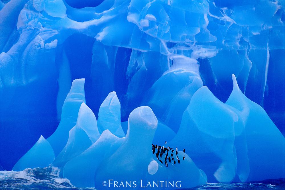 Chinstrap penguins on iceberg, Pygoscelis antarcticus, Antarctica