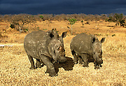 A white rhino and her calf, with approaching rain-storm, Londolozi, South Africa