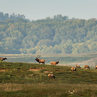 September 17, 2009. Hindman, Kentucky. A bull elk and his harem of cows forage on the grasses of Combs Branch reclaimed surface coal mine. (Credit image: © David Stephenson/ZUMA Press)