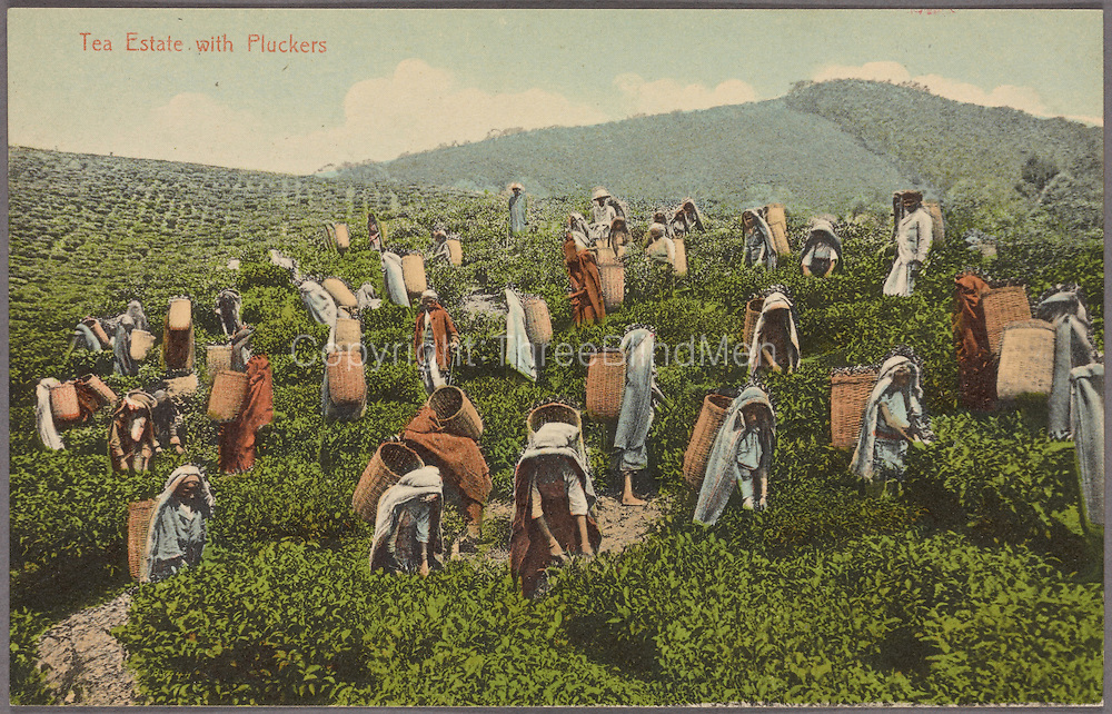 Tea Pluckers, Ceylon. Plate and Co.<br />
