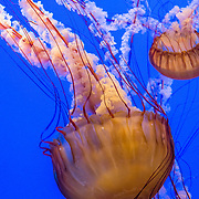 "Pacific sea nettle, or Ortiga de mar (Chrysaora fuscescens), Monterey Bay Aquarium, California, USA. Although commonly named ""jellyfish,"" jellies are plankton, not fish. Jellies (class Scyphozoa) lack the backbone (vertebral column) found in fish. Jellyfish have roamed the seas for at least 500 million years, making them the oldest multi-organ animal. A sea nettle hunts by trailing long tentacles covered with stinging cells to paralyze tiny plankton and other prey. Stung prey is moved to the frilly mouth-arms and on to the jelly's mouth. The Monterey Bay Aquarium (MBA) was founded in 1984 on the site of a former sardine cannery on Cannery Row along the Pacific Ocean shoreline. Fresh ocean water is circulated continuously from Monterey Bay, filtered for visibility during the day and unfiltered at night to bring in food. Monterey was the capital of Alta California from 1777 to 1846 under both Spain and Mexico. In 1846 the US flag was raised over the Customs House, and California was claimed for the United States."