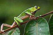 Giant leaf frog (Phyllomedusa bicolor)<br /> Rain Forest<br /> Iwokrama Reserve<br /> GUYANA<br /> South America<br /> RANGE: Central America &amp; Northern South America