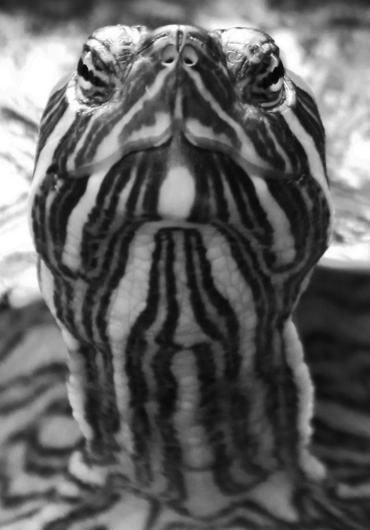 A black and white portrait of a (captive) Red Ear Terripin