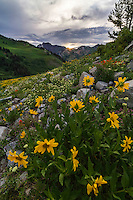Yellow Balsomroot wildflowers bloom among others in Utah's Albion Basin atop Little Cottonwood Canyon in early Summer. Utah wildflowers are truly a sight to see.